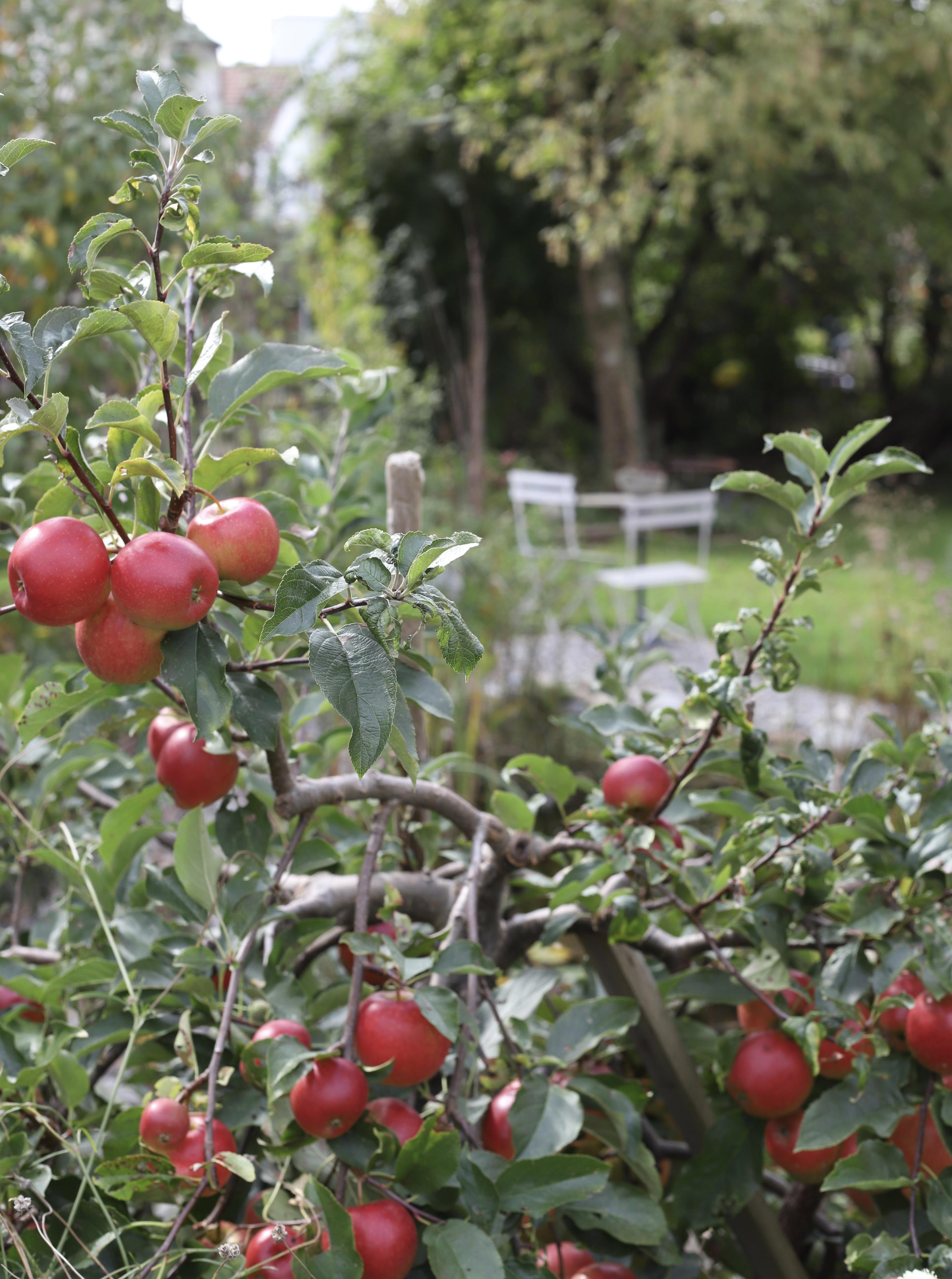 Apfelbaum-Frau-Fadegrad